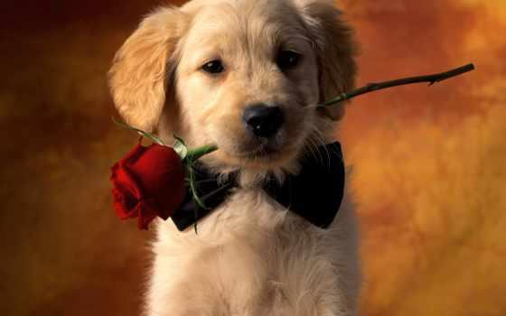 zhivotnye, цветы, щенок, щенки, розой, коричневое, дар, зубах, картинка, цветами, собаки,