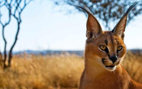 caracal, рысь, степная, prairie, пустынная, кот, называют, пустынной, каракала, рысью,