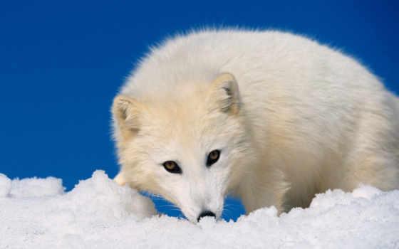 фокс, arctic fox, полярная, арктическая, lagopus, белая,