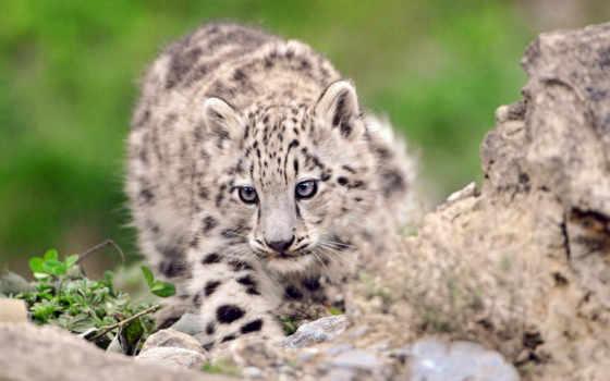 снег, ирбис, леопард, котенок, камень, трава,
