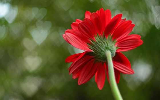 red, цветы, роза, single, images, фото, фон,