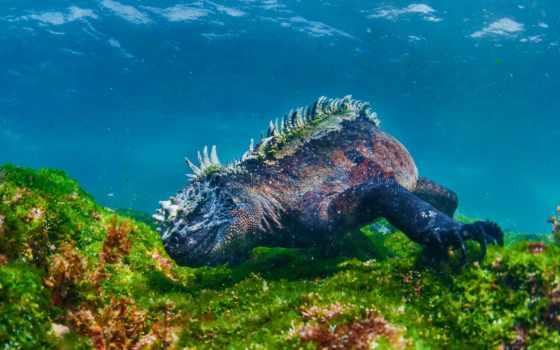 iguana, ящер, игуаны, earth, море, iguanas, islands, может, bbc,