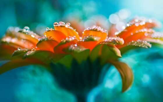 капли, waters, цветы, роза, красивая, clear,