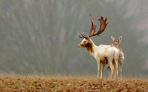 олени, природа,