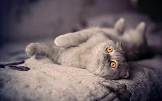 кот, вислоухий, british, свет, плюшевый,