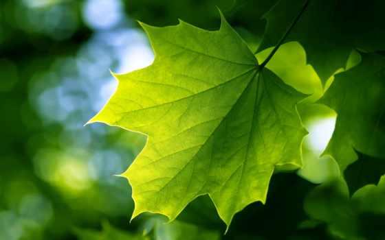 leaf, зелёный, free