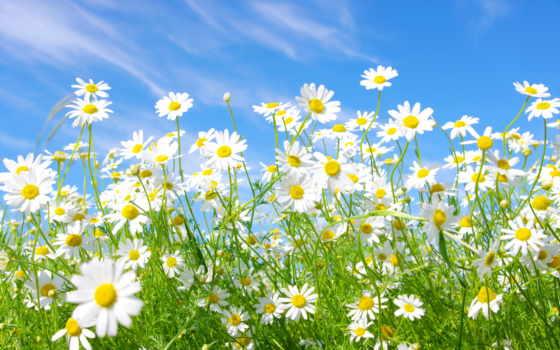 ромашки, белые, cvety, небо, поляна,