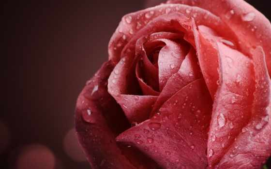 роза, капли, макро, цветы, роса, розовая, water, cvety, лепестки,