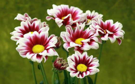 цветы, макро, хризантемы, trick,