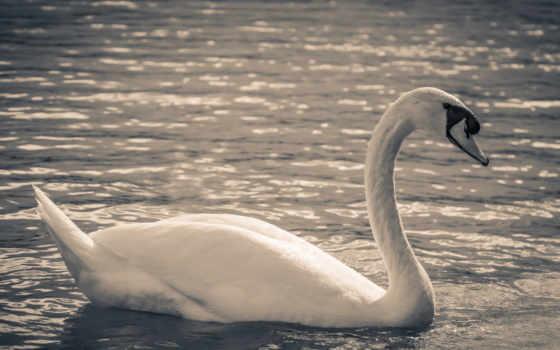 images, free, pixabay, лебедь, les, best, alejandra,