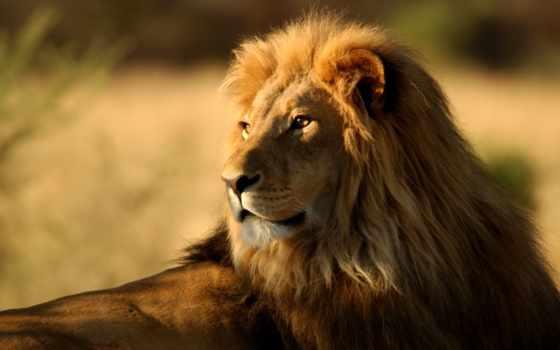 lion, рисунок, judah, хищник, хищники,