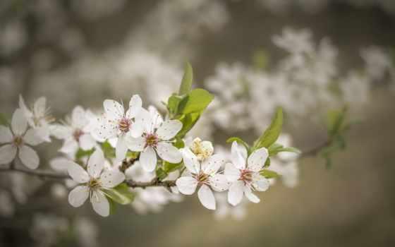 , ветка, цветочки, весна,