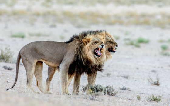 животные, большие, кошки Фон № 55206 разрешение 2560x1600