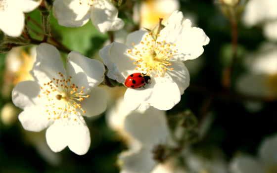 насекомые, коровки, божьи, животные, цветы,