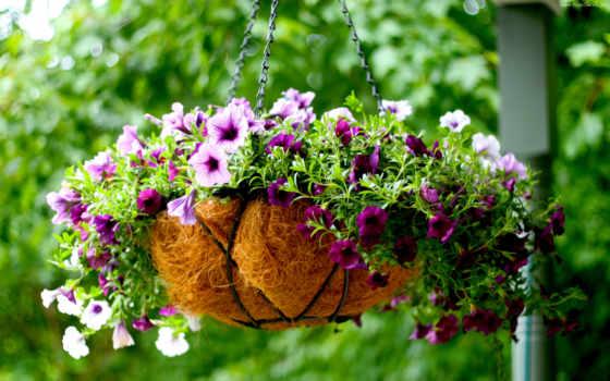 petunia, горшках, toilets, growing, петуния, ящики,