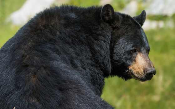 медведь, зверь, барибал