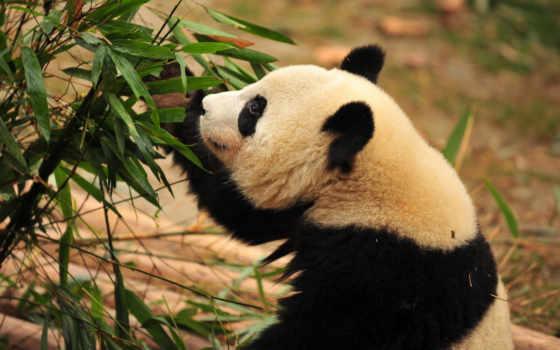 панда, медведь, бамбук,