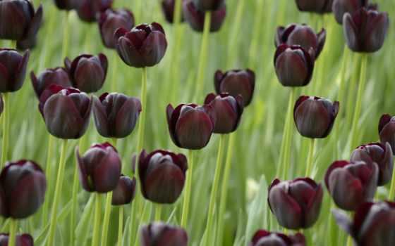 тюльпаны, black, поле, tulips, тёмные, тюльпан,