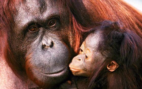 картинка, животные, звери, картинку, кнопкой, мыши, baby, animals, детёныш, семья, мама, orangutans, орангутанги, правой,