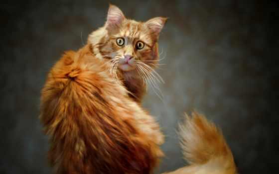red, кот, коты, рыжие, кошек,