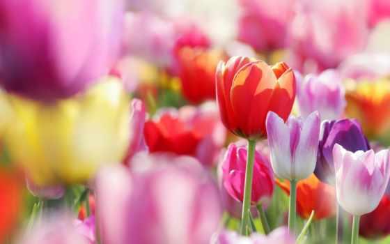 тюльпаны, cvety, бутоны, весна, поле, тюльпанов,