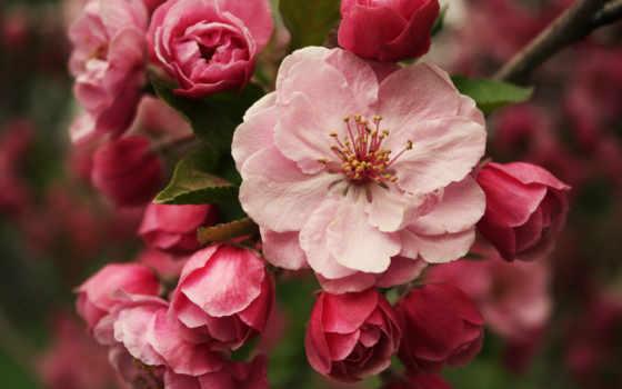 cvety, макро, branch, весна, Сакура, яблоня, розовый,