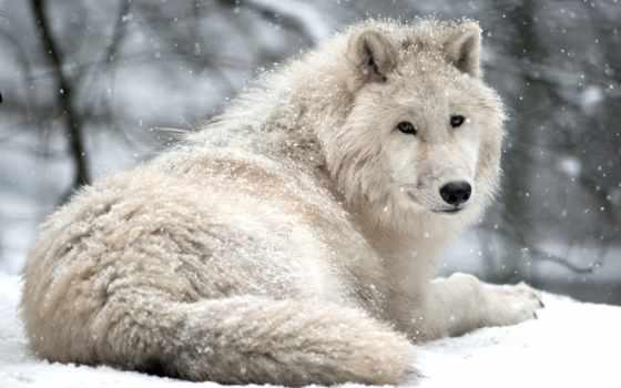 волки, волк, коллекция, загружено, уже, лучшая, страница, time, winter,