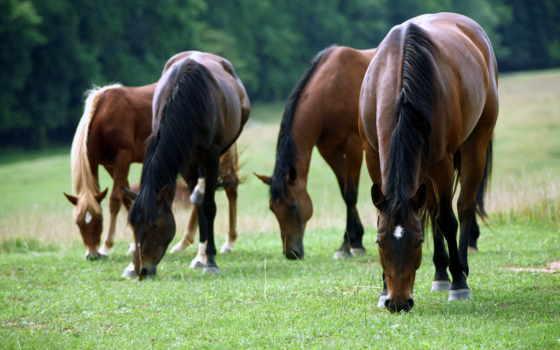 лошади, красивые, hewan