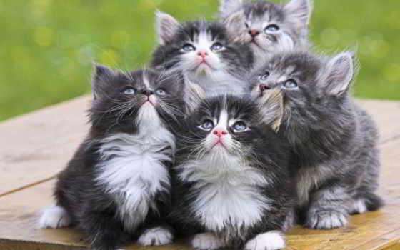 котята, кот, персидские