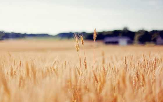 пшеница, поле, колоски, hindi, funny, макро, images, девушка, страница, мар,