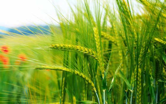колосья, хозяйства, растениеводства, сельское, ферма, сельского, хозяйстве, сельском, поле,
