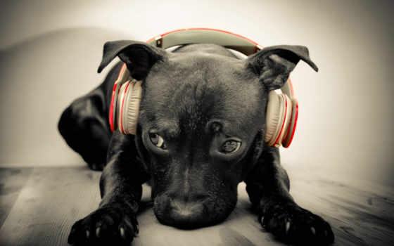 музыка, amstaff, рисунок, full, собаки, zhivotnye, песни,