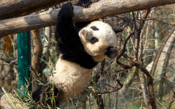 панда, oso, animales