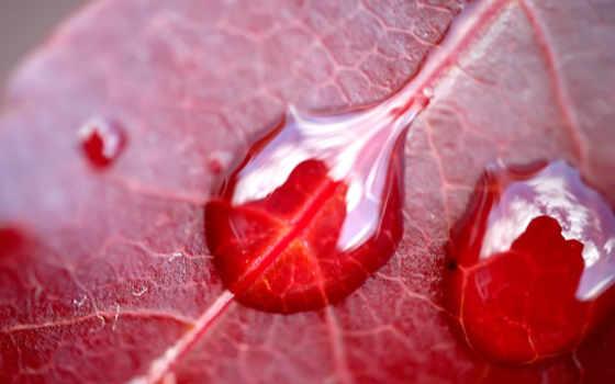 red, роса, дождь, красном, листе, капли, water, росы, яndex, планом, листьях,