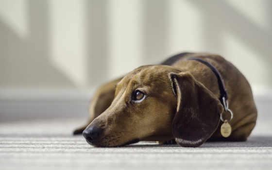 dachshund, jamnik, pies, pinterest, save, more,