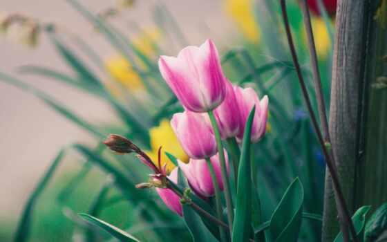 тюльпан, цветы, gullar, гуль, mobile, smartphone, лола, rumble, atirgul