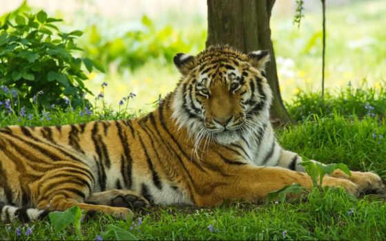 трава, тигр