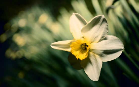 narcissus, цветы, весна,