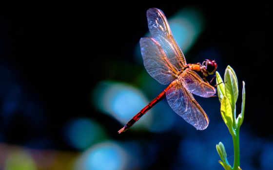 стрекоза, макро, росток, dragonflies, растение, красная, листики, video, how,