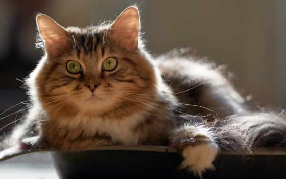 ,, кошка, усы, хищник, полосатый кот, котенок,  норвежский лесной кот, мейн-кун, Сибирская кошка, domestic short-haired cat, Дикая кошка,
