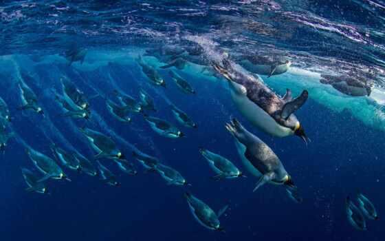 море, пингвин, ross, птица, антарктида, antarktika, imperial, emperor