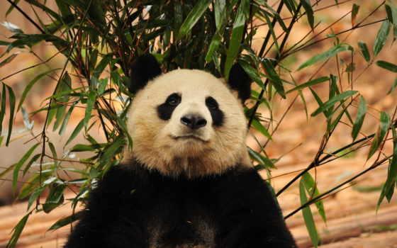 животных, диких, панда