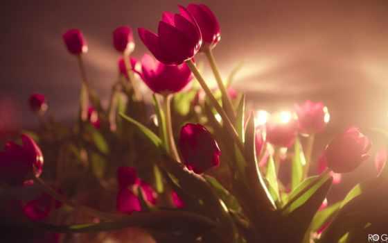 тюльпаны, цветы, tulips Фон № 56526 разрешение 2560x1600