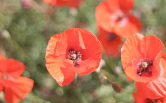 cvety, красные, поляна, маки, лепестки, pole,
