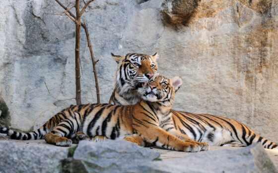 тигр, animal, кот, baby, бенгальский, kaplan, животные, хищник, биг, камень, детёныш