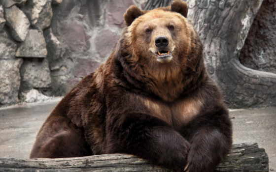 медведь, взгляд, браун, wet, сидит, косолапый,