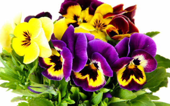 глазки, анютины, cvety, white, yellow,