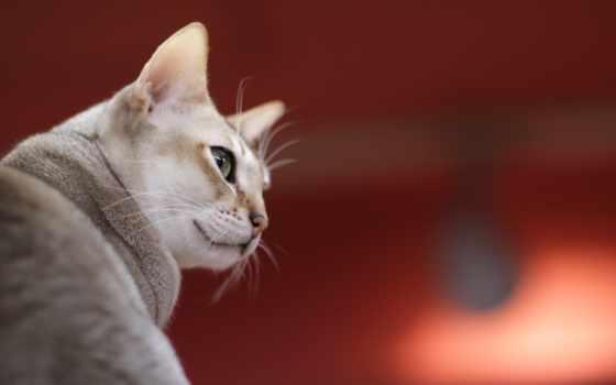 кошки, кошек, кот, которые, сингапурская, сингапура, линяют, cats, wallscloud,
