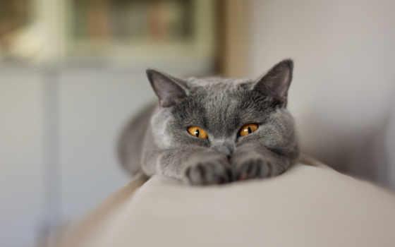 шартрез, кот, кошки
