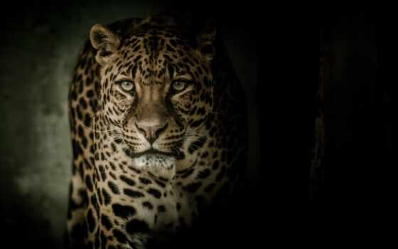 леопард, кот, news, томск, биг, хищник, tvtomsk, pantalla, foto, грозный, площадь